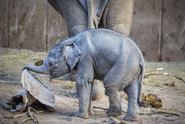 Elefant webb