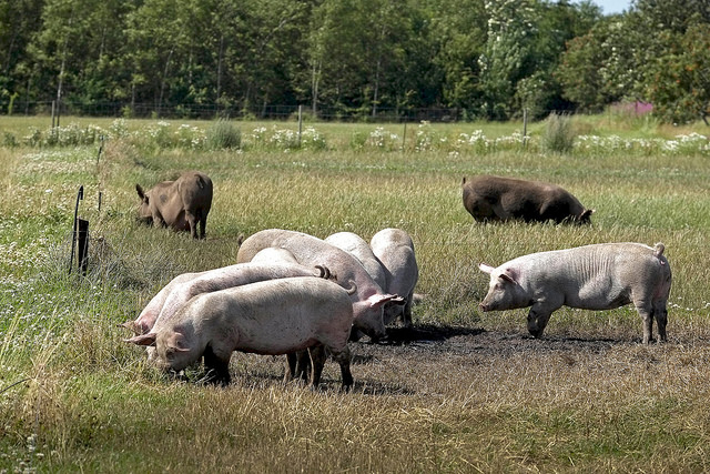 Ekologiska grisar Danmark webb